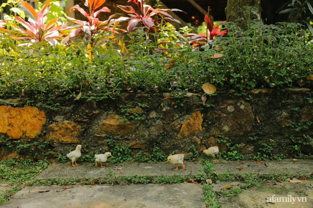 Cuộc sống yên bình trong ngôi nhà nhỏ và khu vườn xanh mát bóng cây ở ngoại thành Hà Nội - Ảnh 24.