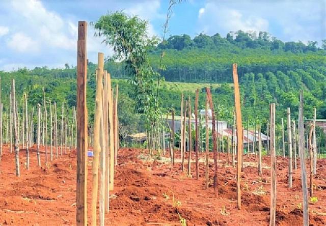 Nông dân rục rịch trồng mới hồ tiêu sau khi giá tăng phi mã, chuyên gia cảnh báo cẩn trọng - Ảnh 4.