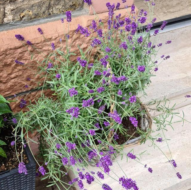 11 loại cây cảnh bạn nên trồng để vừa làm đẹp nhà vừa đuổi muỗi, côn trùng hiệu quả - Ảnh 3.