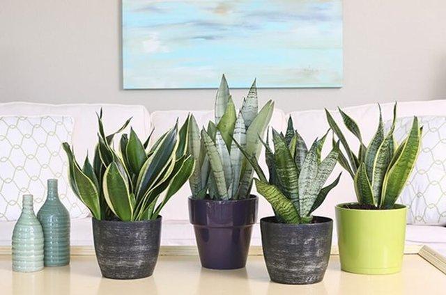 Đừng dại mà trồng những loại cây này trong nhà: Vừa không hợp phong thuỷ, vừa có nguy cơ bị điếc hoặc bị ngộ độc dẫn đến tử vong - Ảnh 4.