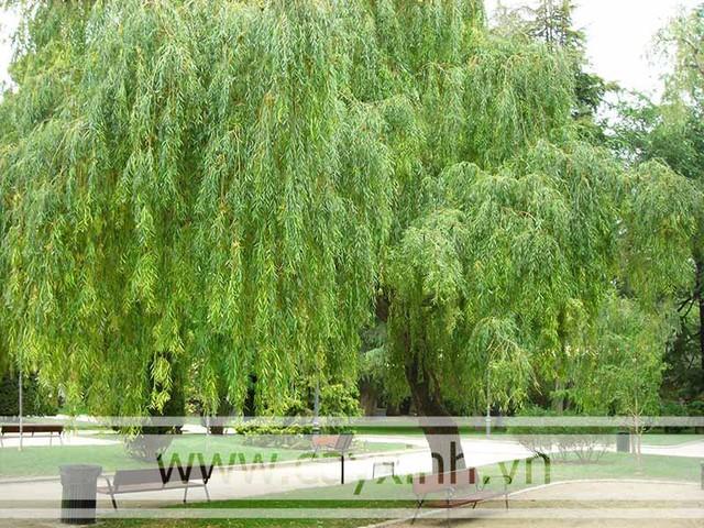 Đừng dại mà trồng những loại cây này trong nhà: Vừa không hợp phong thuỷ, vừa có nguy cơ bị điếc hoặc bị ngộ độc dẫn đến tử vong - Ảnh 7.