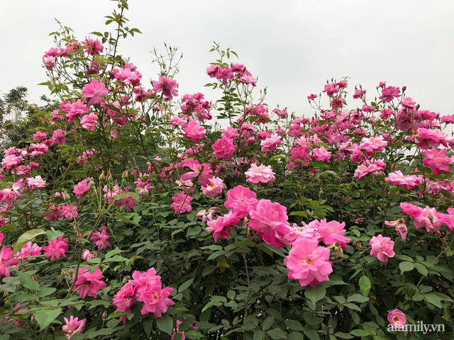 Cuộc sống an yên trong ngôi nhà có vườn hoa hồng quanh năm tỏa hương sắc của gia đình 3 thế hệ ở Ba Vì, Hà Nội - Ảnh 19.