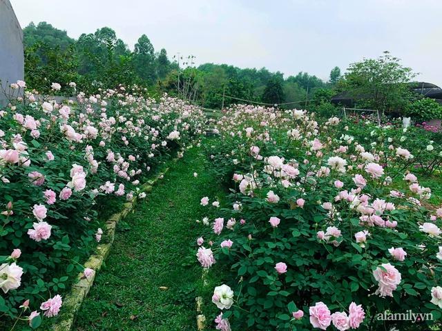 Cuộc sống an yên trong ngôi nhà có vườn hoa hồng quanh năm tỏa hương sắc của gia đình 3 thế hệ ở Ba Vì, Hà Nội - Ảnh 5.