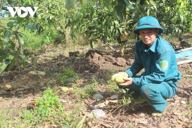 Hàng trăm tấn xoài ở Đắk Nông phải đổ bỏ, xả làm phân bón vì bí đầu ra - Ảnh 2.