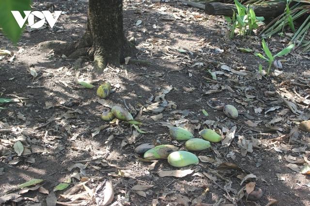 Hàng trăm tấn xoài ở Đắk Nông phải đổ bỏ, xả làm phân bón vì bí đầu ra - Ảnh 3.