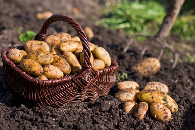 Ngoài khoai tây mọc mầm còn có loại khoai tây khác bạn không được ăn, nếu chủ quan thì tử vong không biết chừng! - Ảnh 1.
