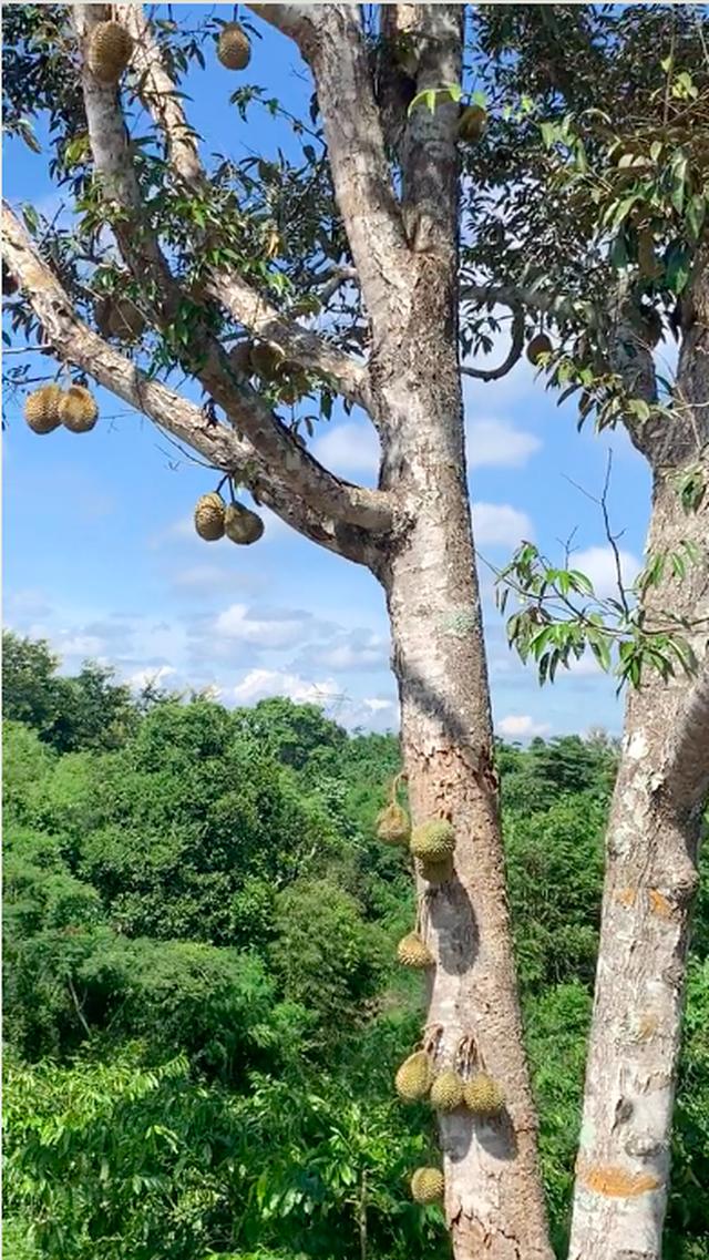 Lác mắt trước vườn sầu riêng ra quả ngoạn mục nhất Việt Nam, xem clip mà dân mạng ai cũng thót tim vì sợ… rớt trúng đầu! - Ảnh 1.