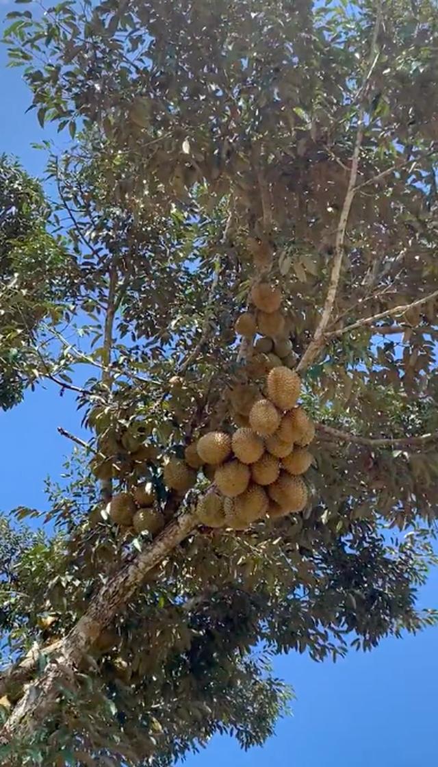 Lác mắt trước vườn sầu riêng ra quả ngoạn mục nhất Việt Nam, xem clip mà dân mạng ai cũng thót tim vì sợ… rớt trúng đầu! - Ảnh 2.