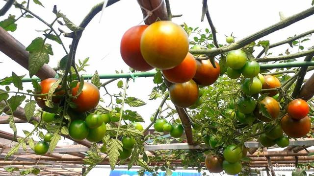Sân thượng 50m² không khác gì trang trại với đủ loại rau quả sạch theo mùa của mẹ đảm ở Hà Nội - Ảnh 10.