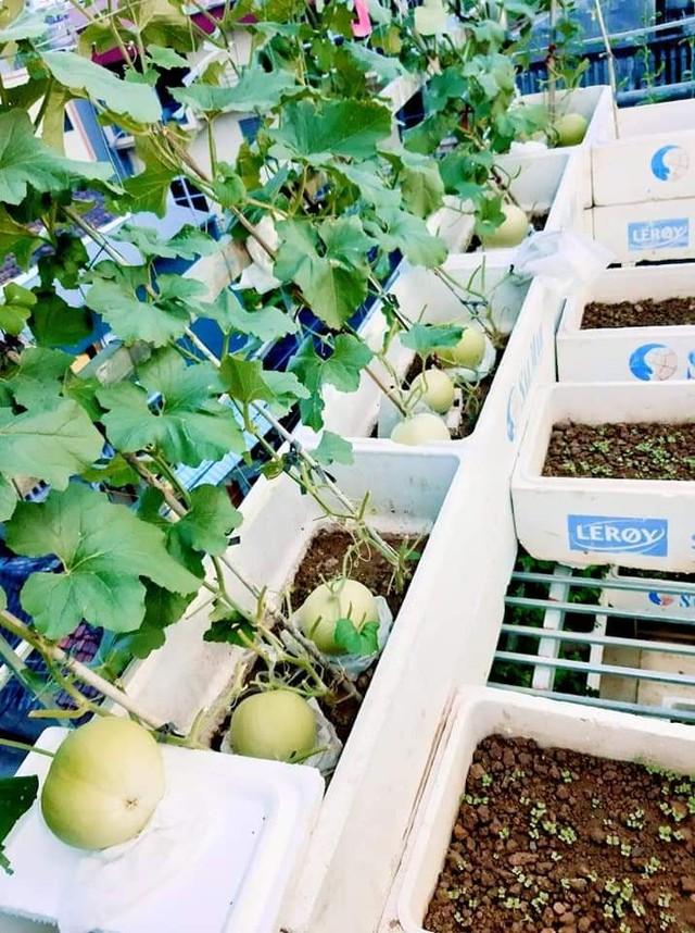 Khu vườn trên sân thượng đầy ắp rau quả xanh mướt ngay ở Hà Nội khiến ai cũng ước ao: Mùa nào thức nấy, rau xanh quả ngọt lại đảm bảo sạch sẽ! - Ảnh 4.