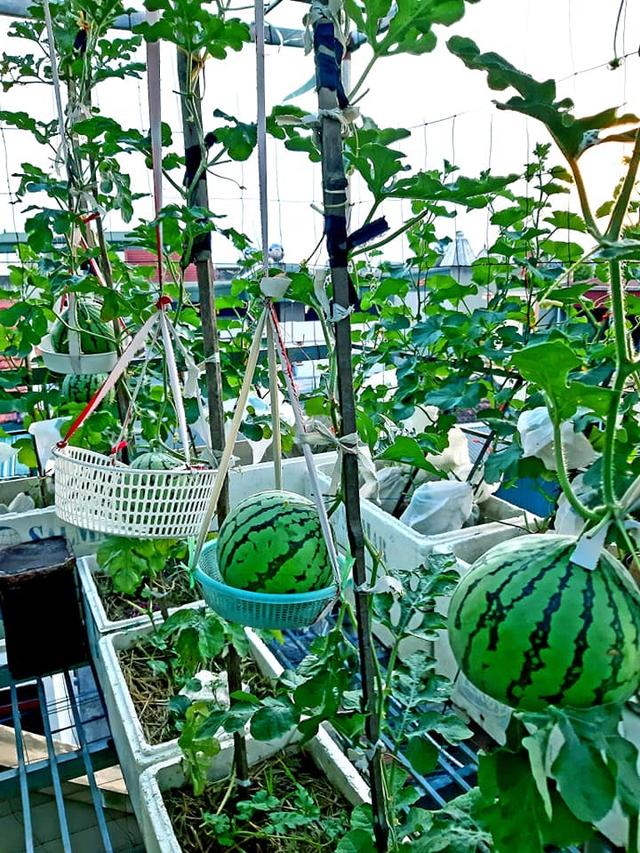 Khu vườn trên sân thượng đầy ắp rau quả xanh mướt ngay ở Hà Nội khiến ai cũng ước ao: Mùa nào thức nấy, rau xanh quả ngọt lại đảm bảo sạch sẽ! - Ảnh 11.