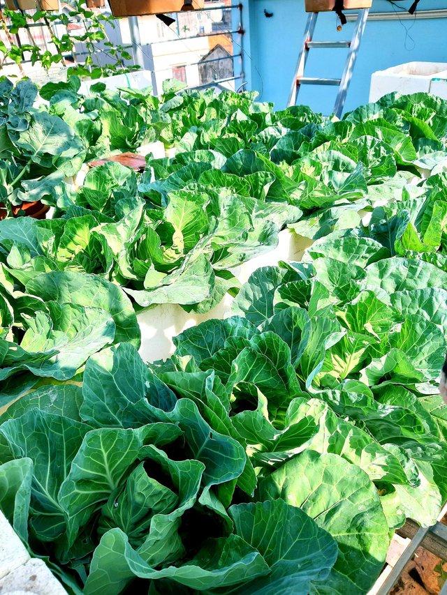 Khu vườn trên sân thượng đầy ắp rau quả xanh mướt ngay ở Hà Nội khiến ai cũng ước ao: Mùa nào thức nấy, rau xanh quả ngọt lại đảm bảo sạch sẽ! - Ảnh 13.