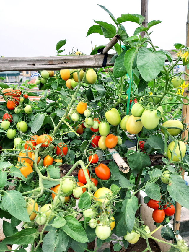 Khu vườn trên sân thượng đầy ắp rau quả xanh mướt ngay ở Hà Nội khiến ai cũng ước ao: Mùa nào thức nấy, rau xanh quả ngọt lại đảm bảo sạch sẽ! - Ảnh 15.