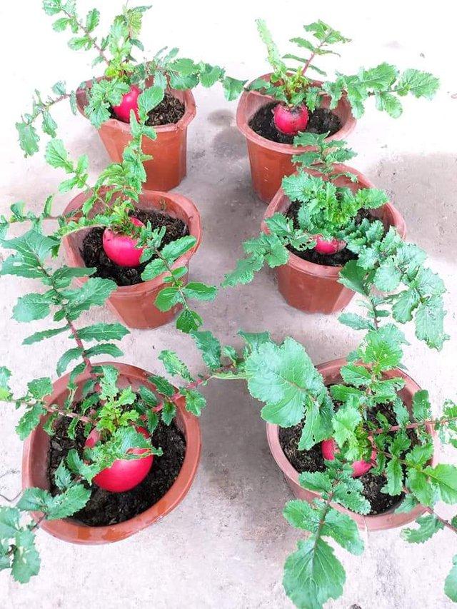 Khu vườn trên sân thượng đầy ắp rau quả xanh mướt ngay ở Hà Nội khiến ai cũng ước ao: Mùa nào thức nấy, rau xanh quả ngọt lại đảm bảo sạch sẽ! - Ảnh 16.