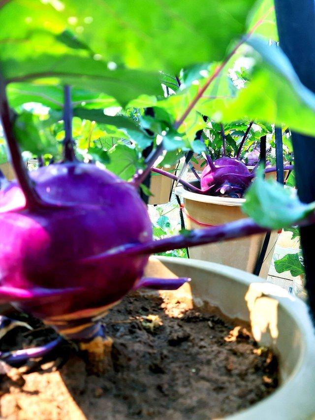 Khu vườn trên sân thượng đầy ắp rau quả xanh mướt ngay ở Hà Nội khiến ai cũng ước ao: Mùa nào thức nấy, rau xanh quả ngọt lại đảm bảo sạch sẽ! - Ảnh 17.