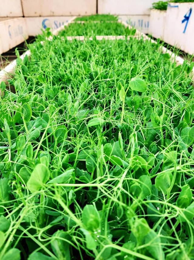Khu vườn trên sân thượng đầy ắp rau quả xanh mướt ngay ở Hà Nội khiến ai cũng ước ao: Mùa nào thức nấy, rau xanh quả ngọt lại đảm bảo sạch sẽ! - Ảnh 2.