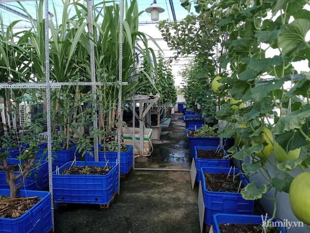 Vườn sân thượng đủ loại từ bầu bí đến nho của bố đảm Sài Gòn giúp gia đình an toàn ở nhà chống dịch - Ảnh 1.