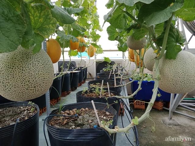 Vườn sân thượng đủ loại từ bầu bí đến nho của bố đảm Sài Gòn giúp gia đình an toàn ở nhà chống dịch - Ảnh 3.