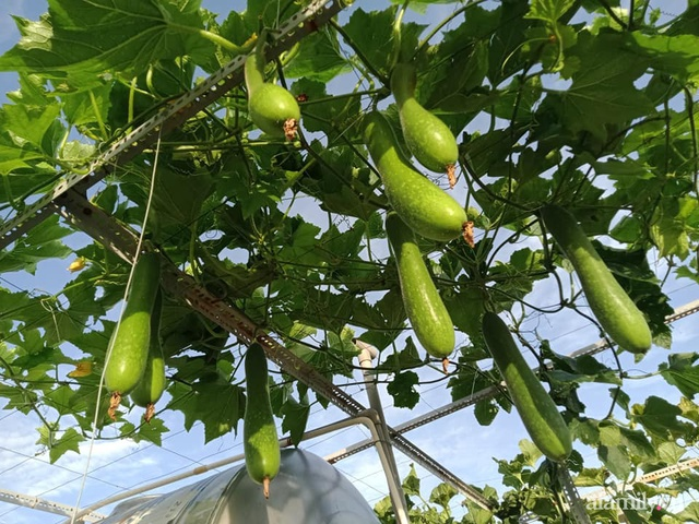 Vườn sân thượng đủ loại từ bầu bí đến nho của bố đảm Sài Gòn giúp gia đình an toàn ở nhà chống dịch - Ảnh 5.