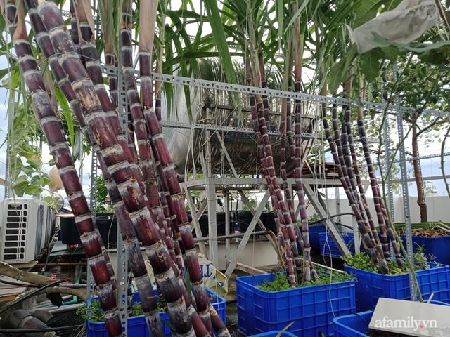 Vườn sân thượng đủ loại từ bầu bí đến nho của bố đảm Sài Gòn giúp gia đình an toàn ở nhà chống dịch - Ảnh 6.