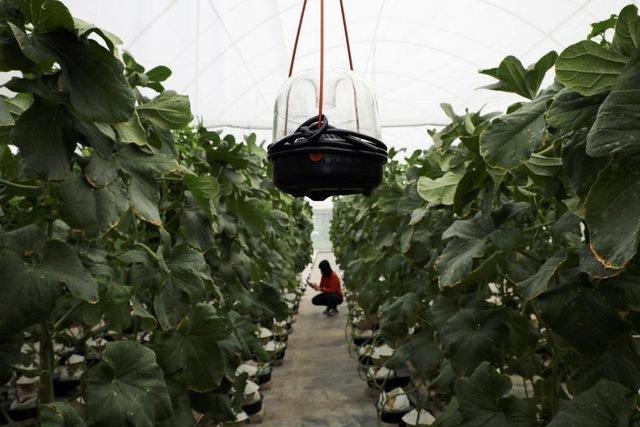 Thấy quá đắt khi phải chi 200 USD cho quả dưa lưới giống Nhật, 3 người nông dân Malaysia mày mò cách trồng và đã thành công: Dưa được thư giãn bằng nhạc cổ điển, mát-xa mỗi ngày  - Ảnh 6.