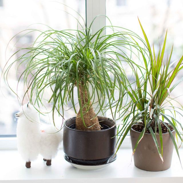 6 loại cây hoan hỉ hợp trồng trong nhà, không cần ánh sáng trời lại mang tài lộc cho gia chủ - Ảnh 4.