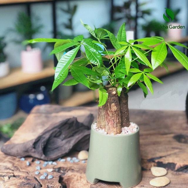 6 loại cây hoan hỉ hợp trồng trong nhà, không cần ánh sáng trời lại mang tài lộc cho gia chủ - Ảnh 5.
