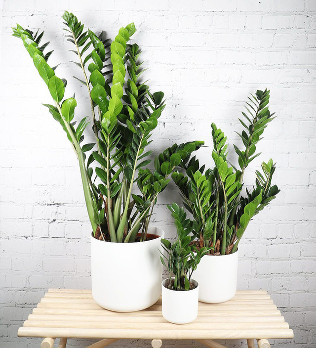 6 loại cây hoan hỉ hợp trồng trong nhà, không cần ánh sáng trời lại mang tài lộc cho gia chủ - Ảnh 6.