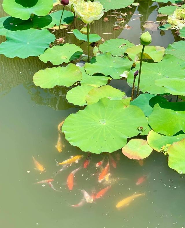 """Khu vườn """"copy Lý Tử Thất"""" rộng 2.500m2 ở Bạc Liêu: Vườn rau, ao cá, sum sê cây trái và nhiều góc sống ảo, ai nhìn cũng mê - Ảnh 8."""