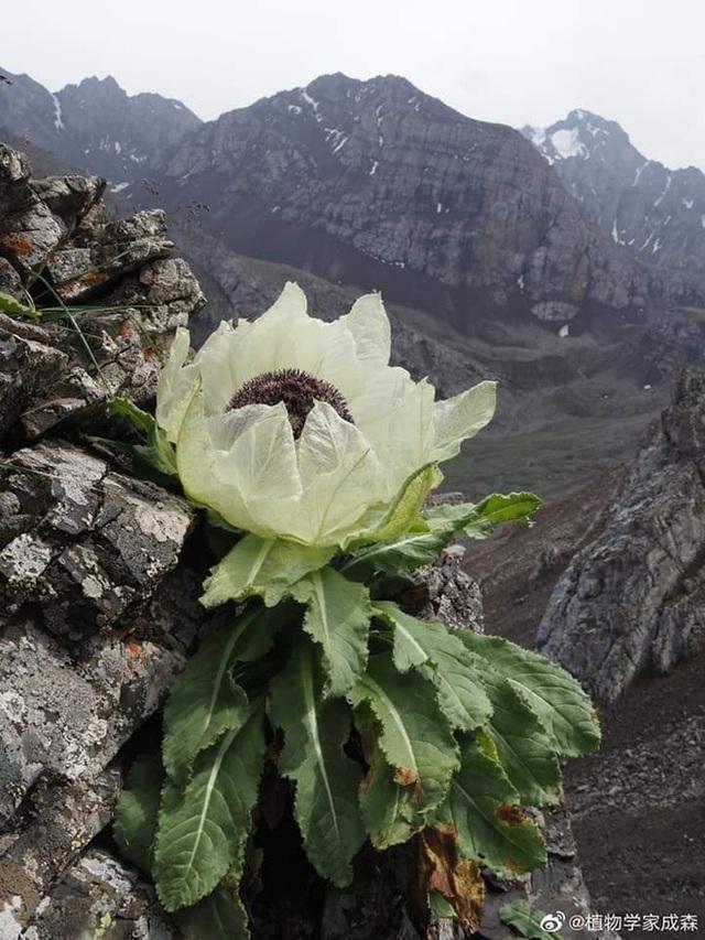 """Loài hoa bước ra từ truyền thuyết được ví như tiên dược, giới nhà giàu Việt """"sủng ái"""" tới mức bỏ hàng chục triệu để săn lùng - Ảnh 8."""