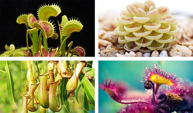 4 loại cây ăn thịt với hình dáng cực xinh, giúp kiểm soát ruồi muỗi trong nhà - Ảnh 1.