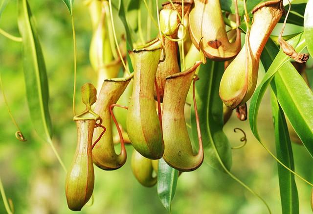 4 loại cây ăn thịt với hình dáng cực xinh, giúp kiểm soát ruồi muỗi trong nhà - Ảnh 2.