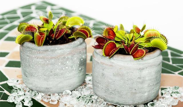 4 loại cây ăn thịt với hình dáng cực xinh, giúp kiểm soát ruồi muỗi trong nhà - Ảnh 11.