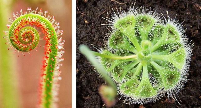 4 loại cây ăn thịt với hình dáng cực xinh, giúp kiểm soát ruồi muỗi trong nhà - Ảnh 7.