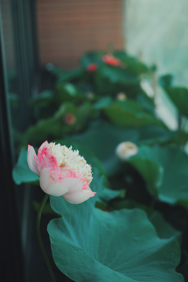 Hồ sen trên tầng 30 của penthouse 300m2: Anh chồng lần đầu giải đáp chuyện chống thấm, tiết lộ có hoa thơm cho vợ sống ảo lại còn thêm cua đồng để nấu canh - Ảnh 9.