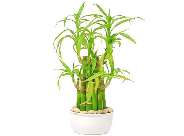 Cách chăm sóc cây phát lộc tốt tươi mang may mắn vào nhà của bạn - Ảnh 4.