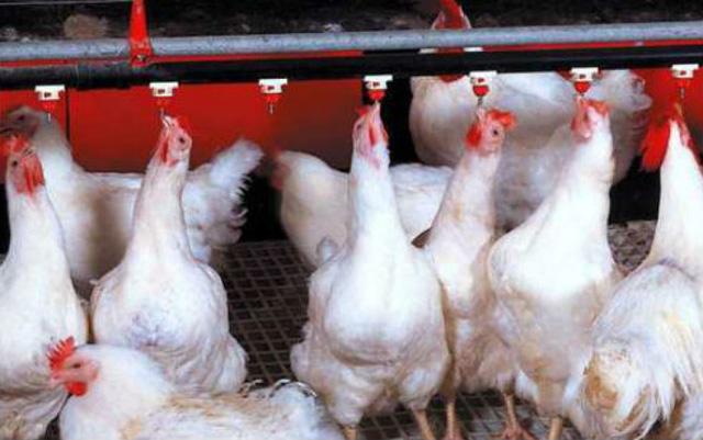 Giá gà rẻ hơn rau, hàng triệu gà giống bị đốt bỏ  - Ảnh 1.