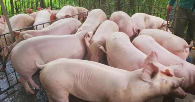 Giá cám tăng cao, lợn hơi bị ép giá, người nuôi lợn… lỗ nặng - Ảnh 1.