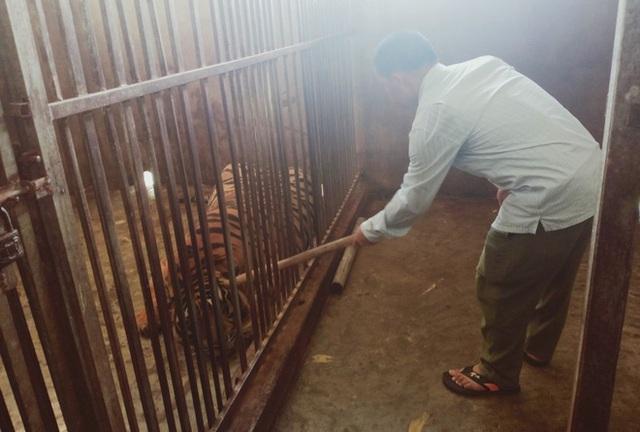 Khởi tố, bắt giam ông chủ nuôi 14 con hổ Đông Dương trái phép trong tầng hầm của gia đình - Ảnh 1.