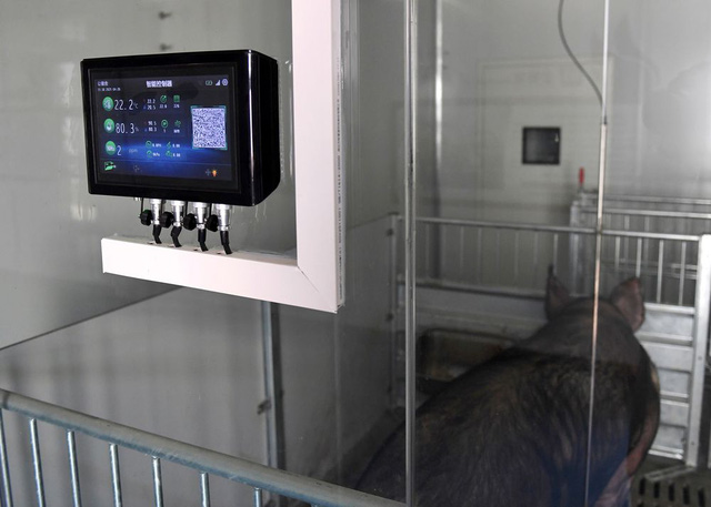 Nuôi lợn ở Trung Quốc: Lợn ở trong khách sạn 13 tầng, hệ thống kiểm soát nhiệt độ và độ ẩm tự động, kiểm soát ra vào nghiêm ngặt - Ảnh 1.