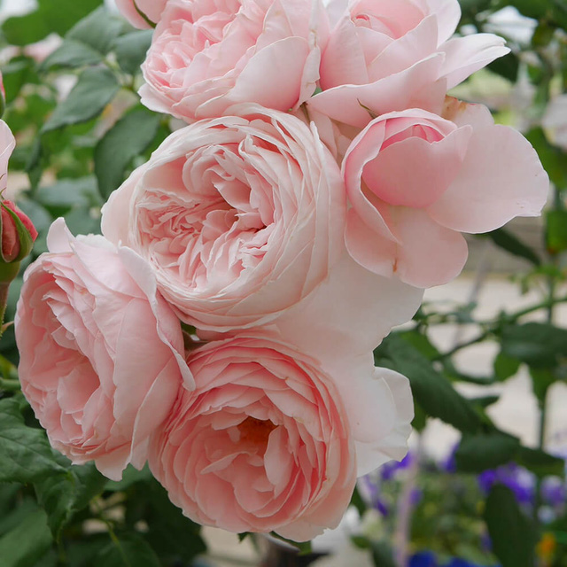 12 loại hoa may mắn được giới nhà giàu ưa chuộng: Vừa làm đẹp ngôi nhà vừa thu hút tài lộc, giá cả lại không quá đắt đỏ thì tội gì không trồng ngay - Ảnh 5.