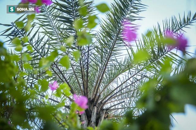 Cận cảnh hàng cây bàng lá nhỏ, chà là trong vụ Tổng Giám đốc công ty cây xanh Hà Nội bị bắt - Ảnh 15.
