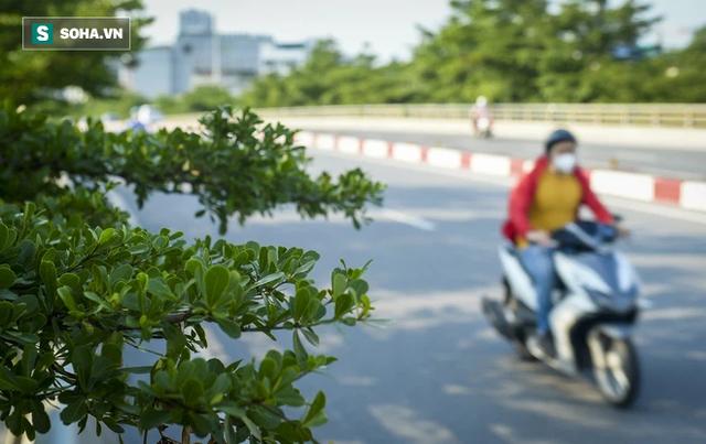 Cận cảnh hàng cây bàng lá nhỏ, chà là trong vụ Tổng Giám đốc công ty cây xanh Hà Nội bị bắt - Ảnh 4.