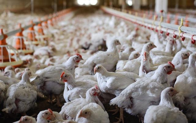 Giá gà tiếp tục xuống thấp kỷ lục, hơn 10.000 đồng/con gà 2,5kg vẫn không có người mua