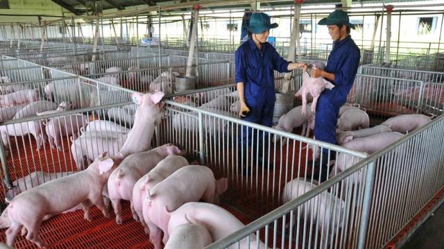 Xuân Thiện chi tiếp 2.500 tỷ làm dự án nuôi lợn ở Thanh Hóa - Ảnh 1.