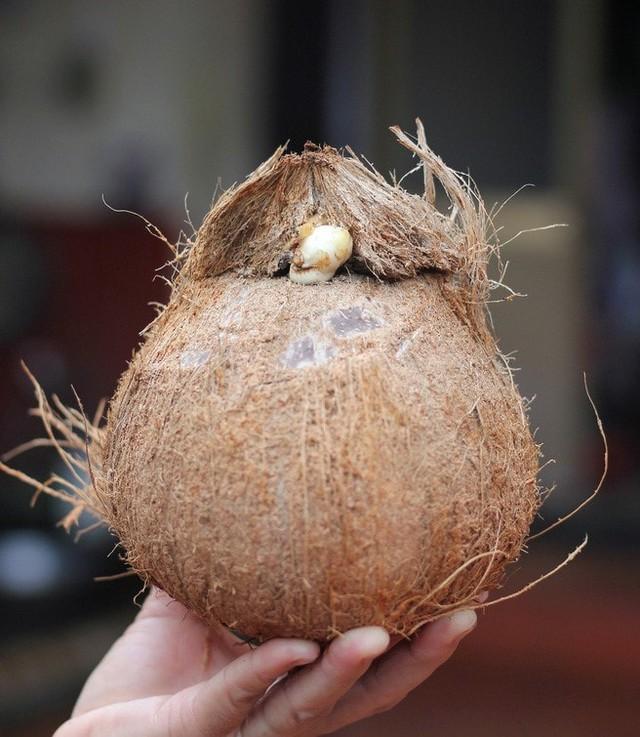 Dừa tươi duy trì mức bán cao trên chợ mạng, mỗi quả giá 25.000 đồng được chốt đơn ầm ầm - Ảnh 8.