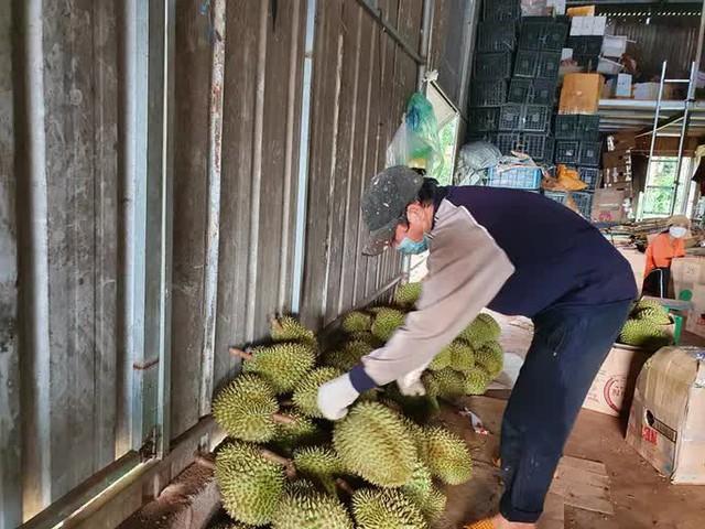 Chính quyền huyện gỡ vướng vụ tạm dừng mua bán sầu riêng, bơ khi đang thu hoạch  - Ảnh 1.