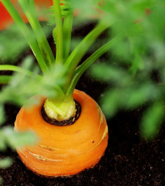 4 loại rau củ quen thuộc khi mọc mầm không những làm giảm giá trị dinh dưỡng mà thậm chí còn sinh ra độc tố, gây hại cho sức khỏe - Ảnh 3.