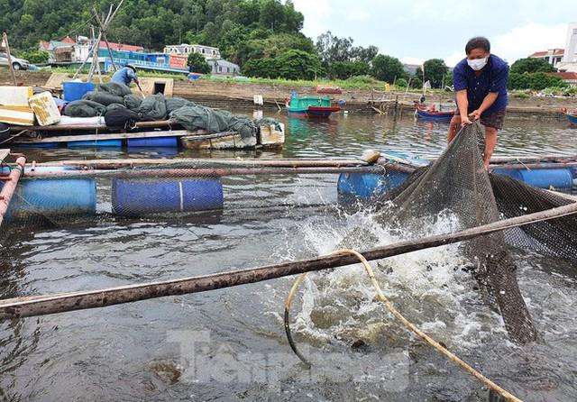 Hàng trăm tấn cá nuôi lồng bè tại Cửa Lò không có người thu mua vì dịch - Ảnh 1.