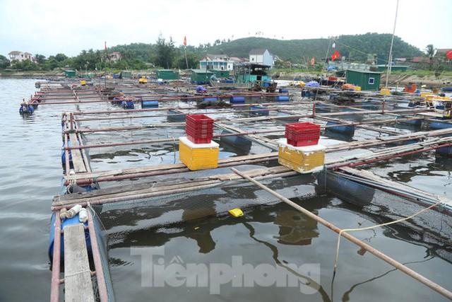 Hàng trăm tấn cá nuôi lồng bè tại Cửa Lò không có người thu mua vì dịch - Ảnh 3.